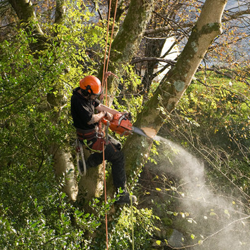 Picture of our tree climber trimming a tree in Manassas, VA